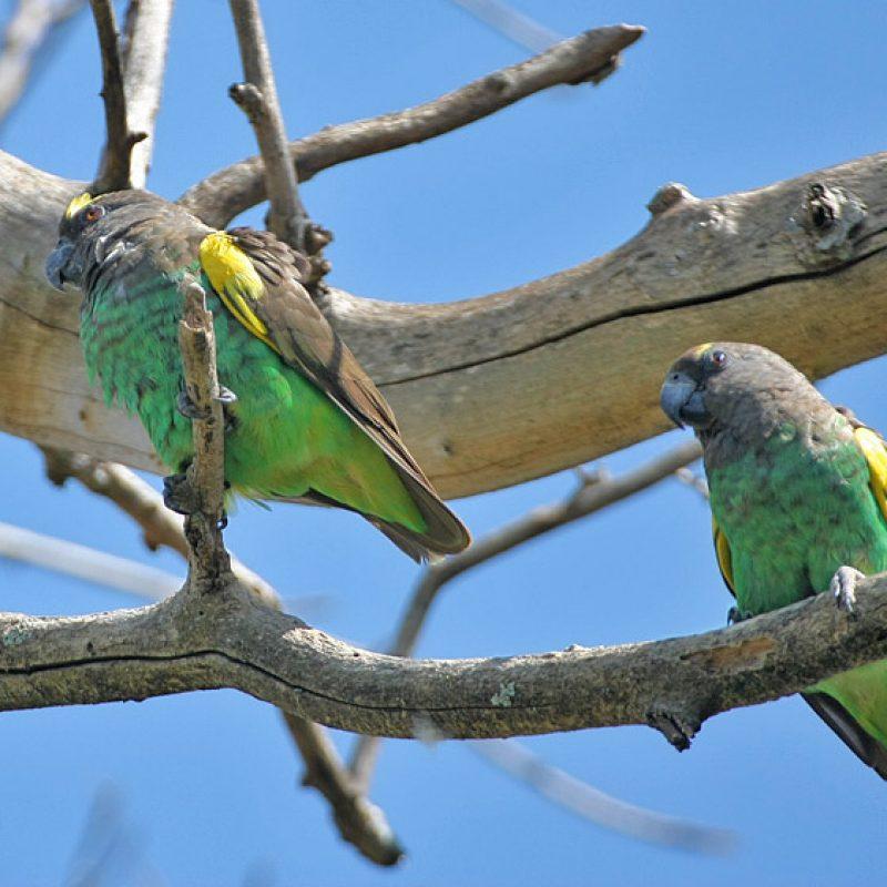Meyer papegaai
